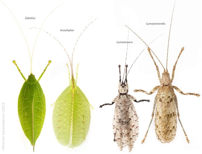 Sylvan katydids of Gorongosa in their typical daily resting poses: Blue-legged sylvan katydid (Zabalius ophthalmicus), Elegant sylvan katydid (Acauloplax exigua), Common bark katydid (Cymatomera denticollis) and Greater bark katydid (Cymatomerella spilophora).