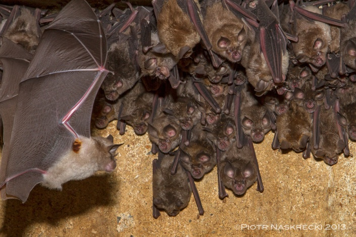 A colony of Lander's horseshoe bats (Rhinolophus landeri) – notice the orange hairs in the armpits of the flying male.