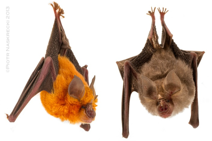 Two color morphs of Lander's horseshoe bats (Rhinolophus landeri) found in Gorongosa.