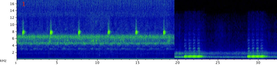 A song of the Blue-legged sylvan katydid (Zabalius ophthalmicus). Click here to listen to the recording: first played at the normal speed, followed by a fragment slowed down by a factor of 10 (for the katydid-challenged listeners, i.e., most males over 35).