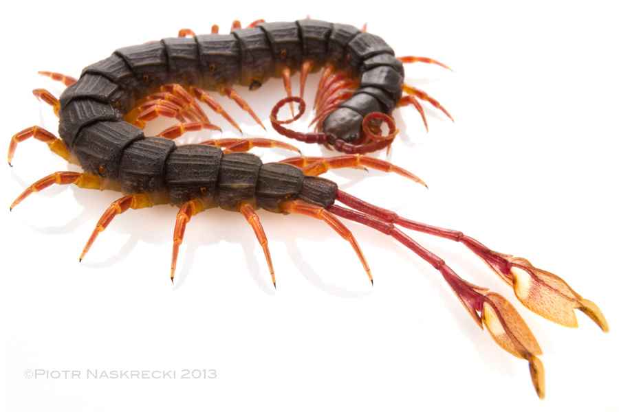 A feather-legged centipede (Alipes sp.)