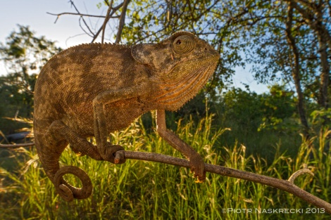 Flap-necked chameleon (Chamaeleo dilepis) is common in the savanna woodlands of the Cheringoma Plateau