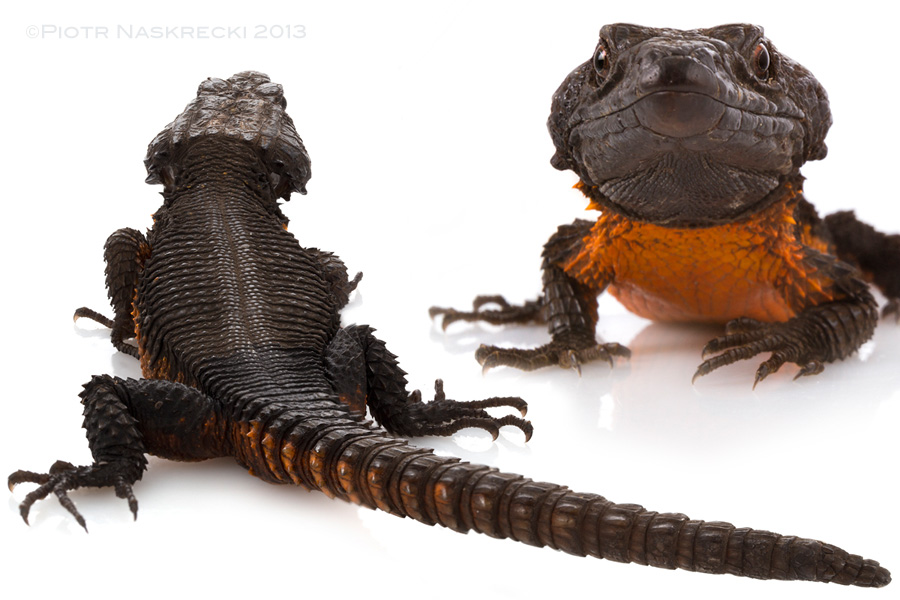 The male of the Gorongosa girdled lizard (Cordylus mossambicus) looks like an alligator wearing an orange T-shirt. These spectacular lizards are found only in a small area around Gorongosa and the neighboring Chimanimani Mountains of Zimbabwe, and are threatened by habitat loss and overcollecting for pet trade.