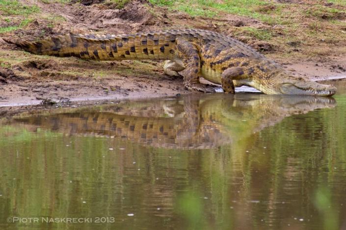 A Gorongosa crocodile sliding into the Urema River.