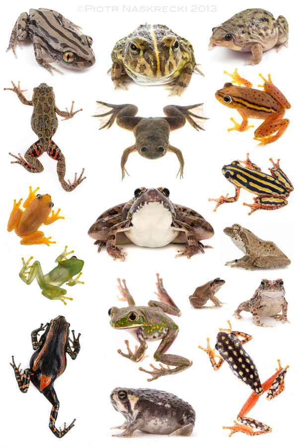 Some of the frog species recorded by MO Roedel during the Cheringoma biodiversity survey.