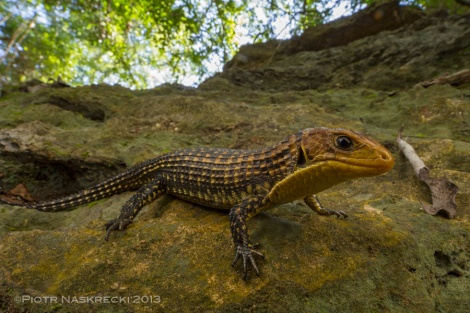 Plated lizard (Gherrosaurus major) was one of the most exciting finds of the survey.