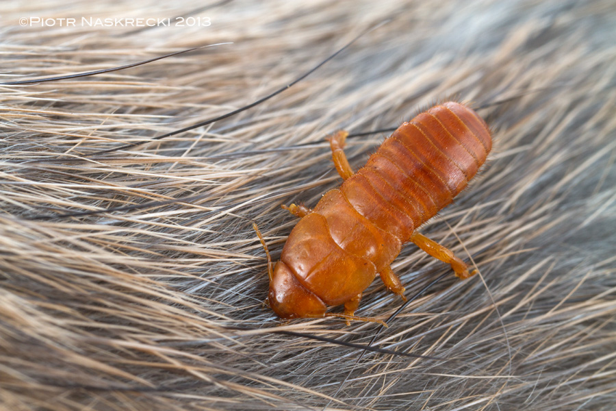 Epizoic earwig (Hemimerus sp.) on the fur of a pouched rat