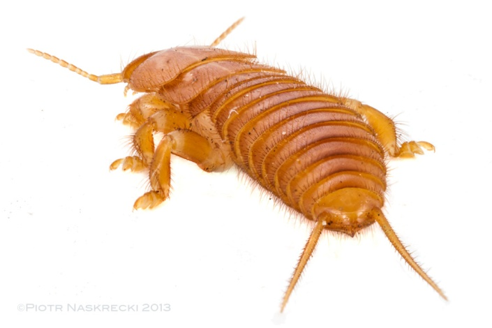 Epizoic earwigs (Hemimerus) lack the clasping cerci of their free-living cousins