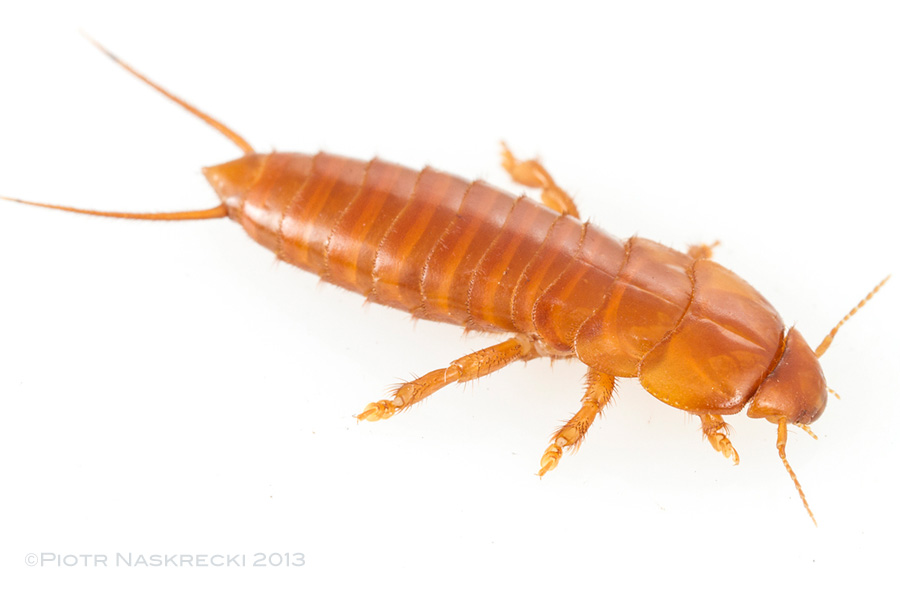 An adult epizoic earwig (Hemimerus sp.)