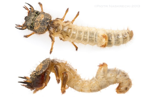Only the head and pronotum of a larva of Manticora is heavily sclerotized, while the rest of the body is soft and safely tucked inside the burrow. Notice the anchor-like structure on the 5th abdominal segment.