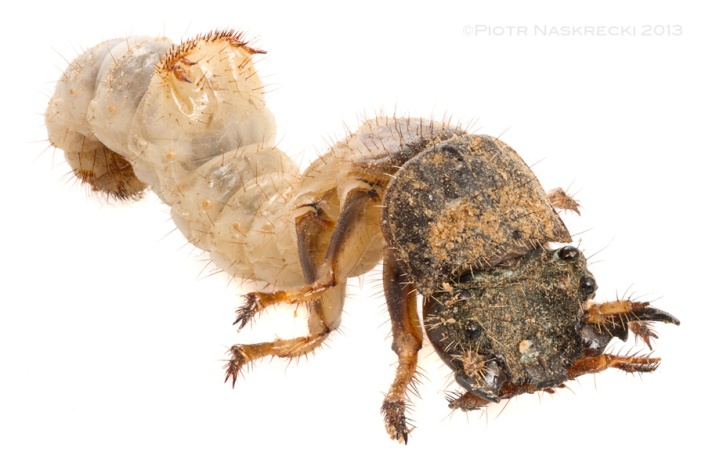 A Manticora larva, just like its parents, is a voracious killing machine.