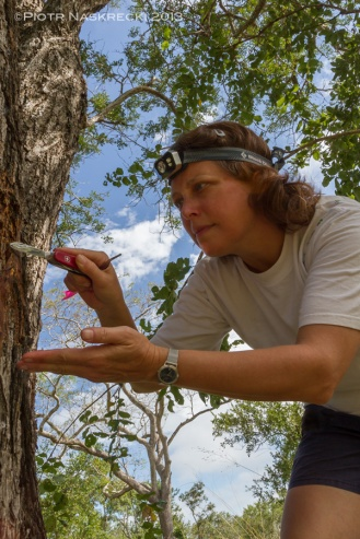 Leeanne Alonso collecting Melissotarsus ants from an acacia tree