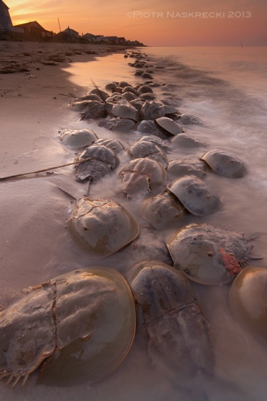 The best time to see Atlantic horseshoe crabs (Limulus polyphemus) is on the nights of the full and new moon in May and June.