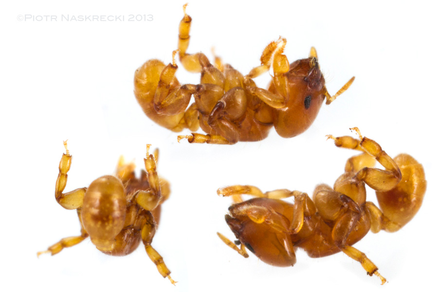 Melissotarsus ants are incapable of walking or even standing on flat, smooth surfaces, and immediately fall on their back, unable to right themselves up.