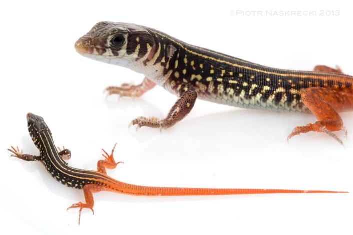 Thunderbolt lizard (Nucras sp.), one of the fastest animals found in Gorongosa.