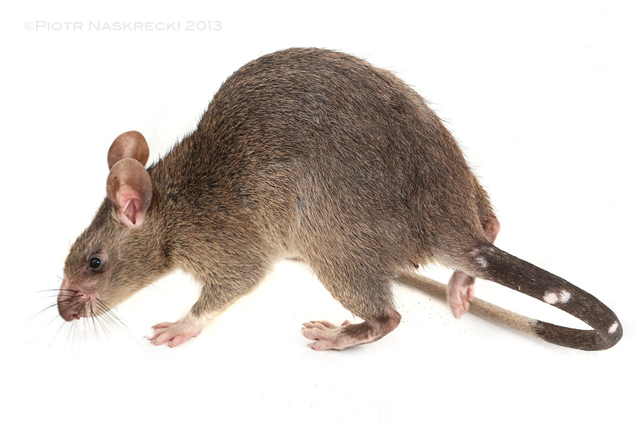 Pouched rat (Cricetomys gambianus)