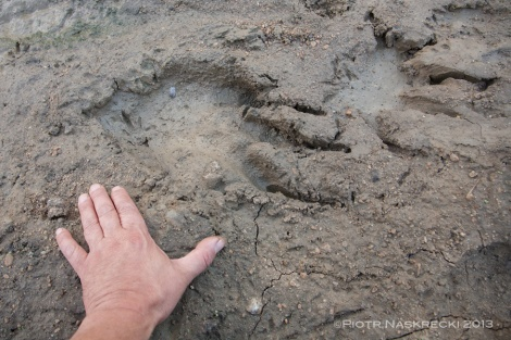 Tracks of the crocodile that took, and most likely ate, our hide.