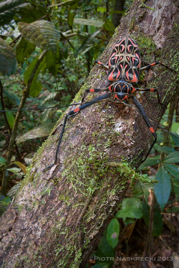A female Harlequin beetle (Acrocinus longimanus) from Guyana. The body of these insects is a vibrant ecosystem for several species of arachnids.