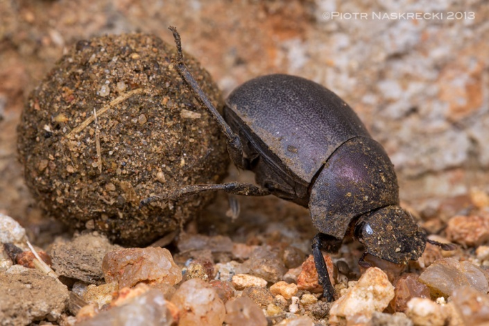 Plum dung beetles (Anachalcos convexus) do not display sexual dimorphism, and both males and females form dung balls; this species is also often seen feeding on dead insects.