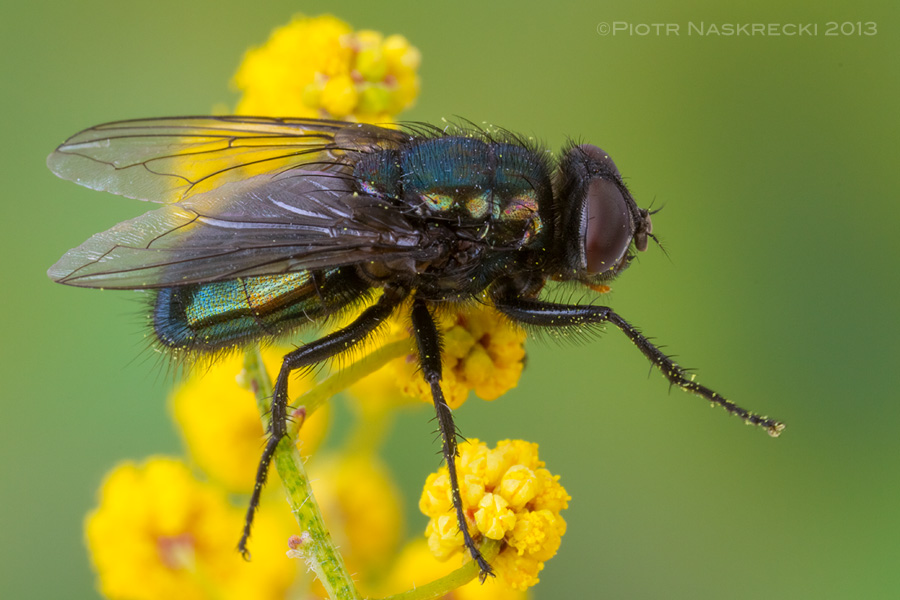 Although the larvae of bluebottle flies (Calliphora vomitoria) feed on decaying flesh, adults are often attracted to flowers and feed on nectar.
