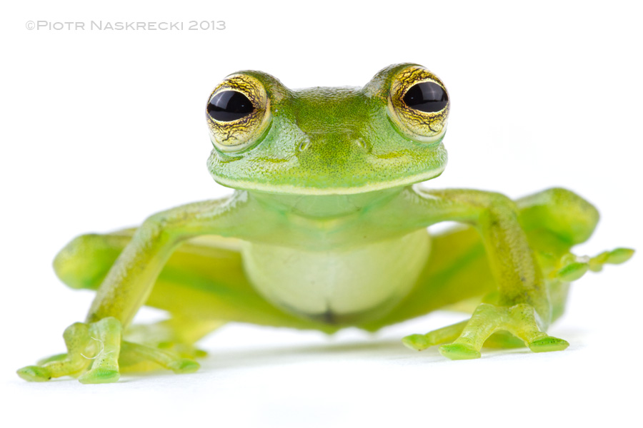 One distinguishing feature of true glass frogs is the position of their eyes, which point forward, giving them more human-like appearance.