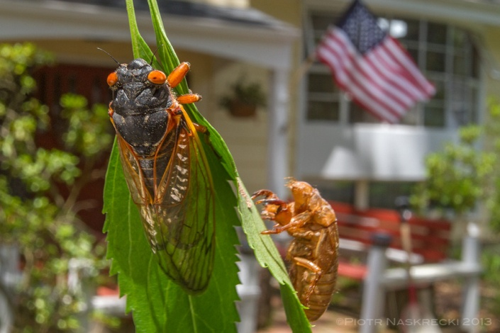 Only in America – both 13- and 17-year periodical cicadas are found mostly in the northeastern portion of the United States, with a few broods extending as far West as Kansas and as far South as Louisiana.
