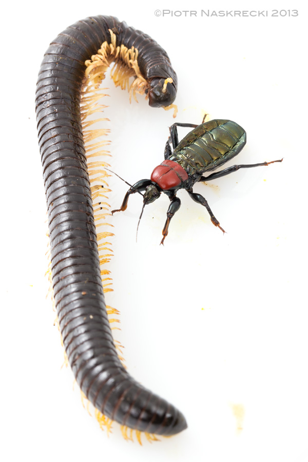 After a few minutes the millipede is dead (but read the entire story to see what happened next).