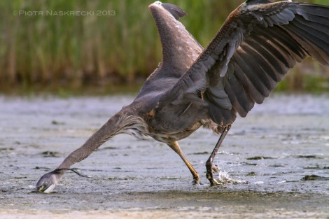 During the day, when horseshoe crabs were deep in the ocean, I photographed other things. Great Blue Heron hunting mud crabs in the marshes of the Prime Hook Nature Reserve made for an interesting subject.