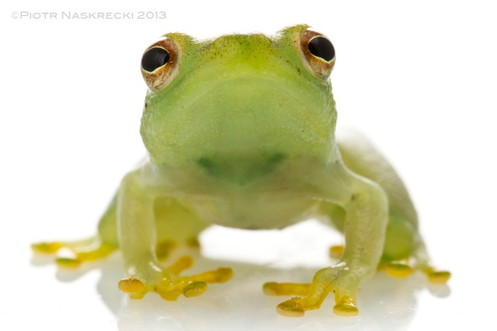 African reed frogs have more typical eyes, positioned on the sides of the skull.