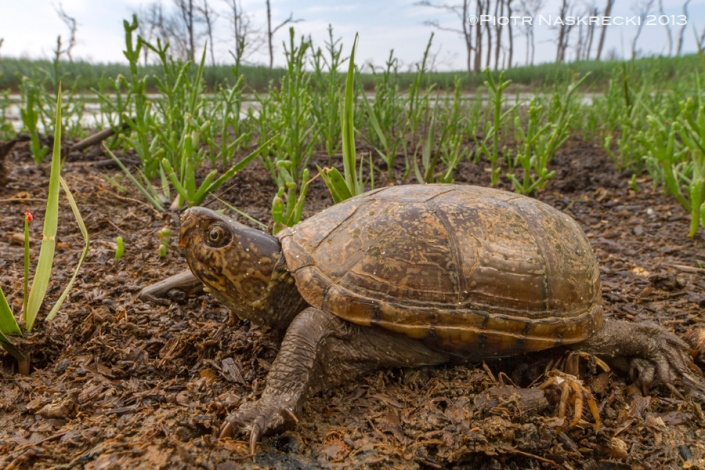 Natural areas surrounding the Delaware Bay are full of amazing creatures. I found this Eastern Mud Turtle (Kinosternon subrubrum) on a country road near the ocean.