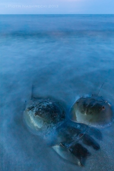 An 8 second exposure of mating horseshoe crabs (ISO 1250, 14mm, f 7.1) – I like these kinds of shots, but they give the false impression of the scene being static and dreamy.