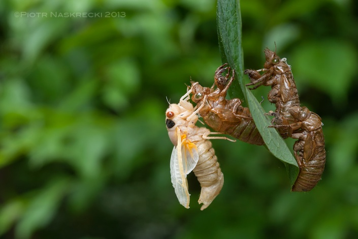 When finally ready to molt, cicada nymphs climb trees and other tall objects, and transform into beautiful adults.