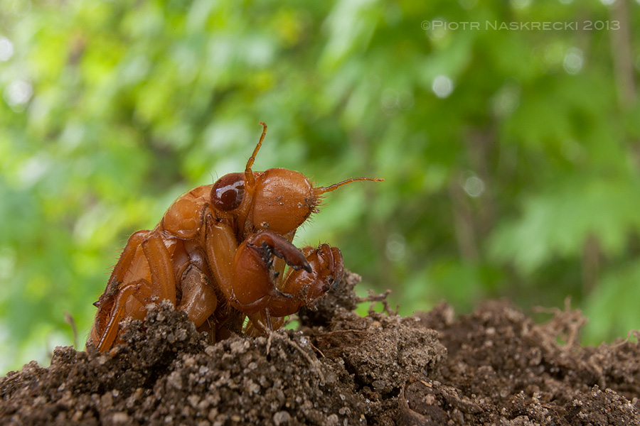 Nymphs of periodical cicadas spend 13 or 17 years underground, feeding on roots of trees. Their front legs are enlarged and perfectly adapted for digging.