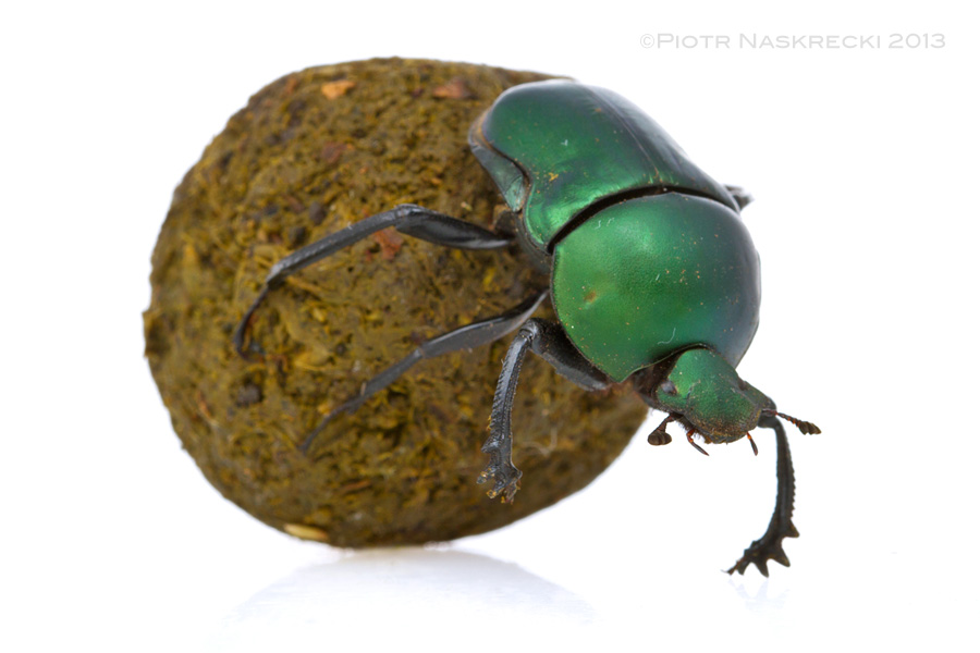 The Green dung beetle (Garreta nitens)is a pretty, diurnal species.
