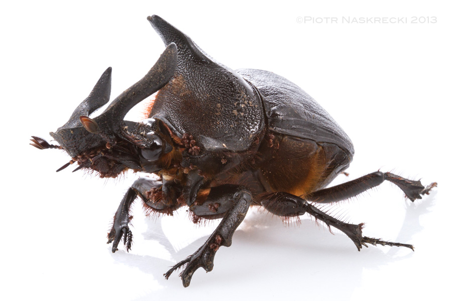 Male Heliocopris andersoni, one of the largest and most impressive dung beetles in Africa.