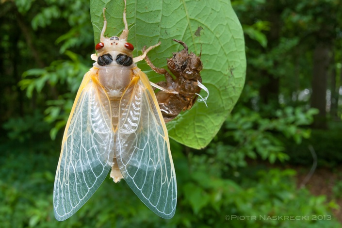 Newly emerged (eclosed) periodical cicadas are almost snow white, but within a couple of hours their body darkens and their exoskeleton becomes hard.