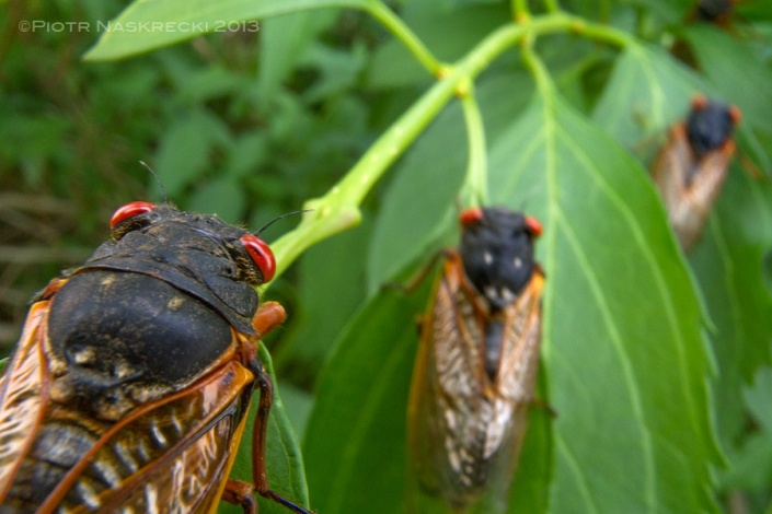 Adult periodical cicadas live for only a couple of weeks, and during this time they feed on juices of plants.