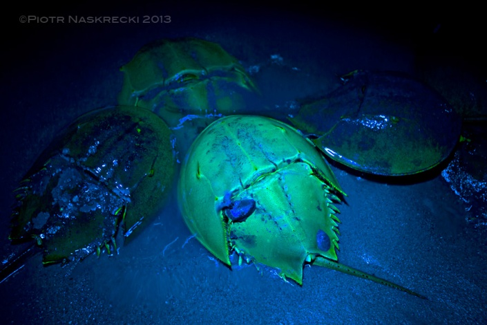 Horseshoe crabs, like some of their distant arachnid cousins, fluoresce under ultraviolet light. A dark, moonless night last weekend was a good opportunity to photograph it.