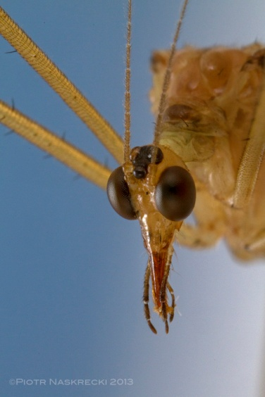 The head of Bittacus strigosus; notice the characteristic, elongated mouthparts, typical of most scorpionflies.