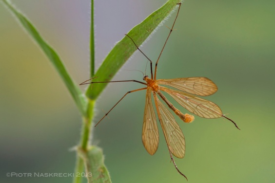 A hanging scorpionfly (Bittacus sp.) from Mozambique showing the main difference between scorpionflies (Mecoptera: Bittacidae) and crane flies (Diptera: Tipulidae) – the presence of the second pair of wings.