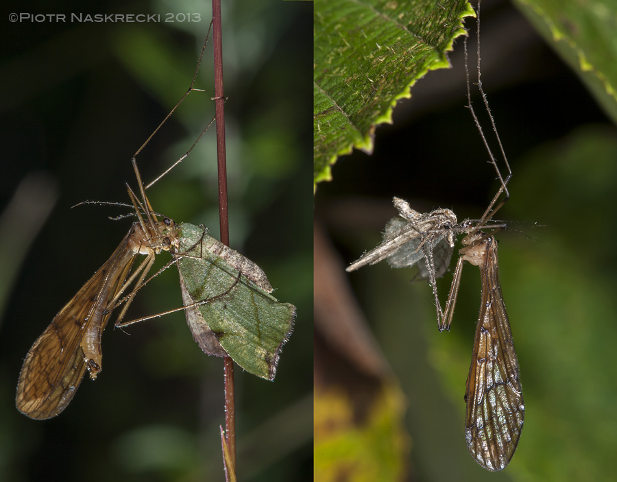 Hanging scorpionflies (Bittacus sp.) from Sichuan, China, with moth prey.