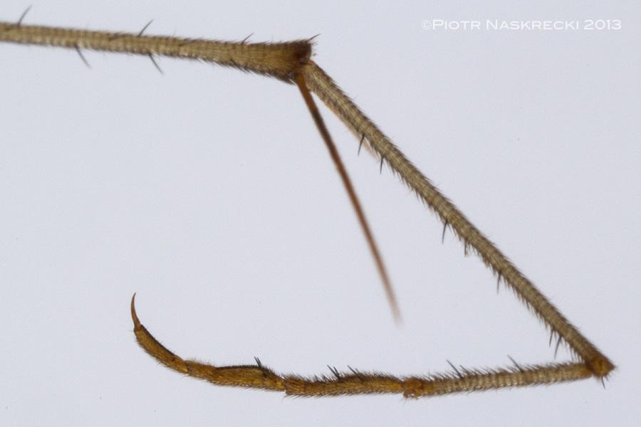 A raptorial tarsus of Bittacus strigosus.