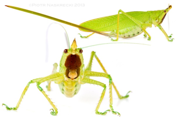 Brown-faced spear bearer (Copiphora hastata Naskrecki, 2000) – This huge conehead katydid is common across Central America. Females of this and related species carry an enormous ovipositor that allows them to lay eggs at the base of litter-filled fronds of small palm trees.