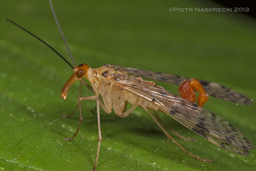 A male of the common scorpionfly (Panorpa acuta) from Estabrook Woods, MA; notice the scorpion-like tip of the abdomen.