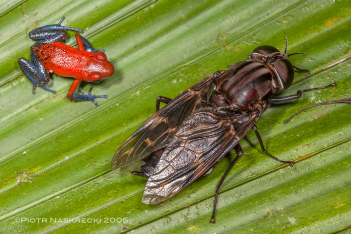 A posion arrow frog (Dendrobates pumilio) next to a timber fly (Pantophthalmus sp.) on a palm leaf at La Selva Biological Station, Costa Rica.