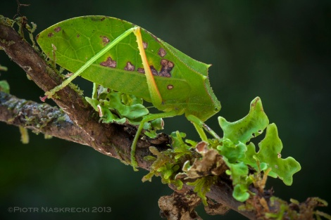Helmeted katydid (Phyllophora boschami) from Pogera gold mining camp in the Enga Province of Papua New Guinea.