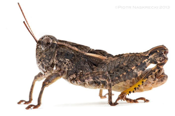 I described the Agile grasshopper (Rhachitopis brachyopterus Naskrecki, 1992) based on a small series of preserved specimens collected in Zimbabwe, but until recently have not seen a live individual. This is very common in entomology as most species are described using specimens from museum collections, often collected tens or even over a hundred years earlier.