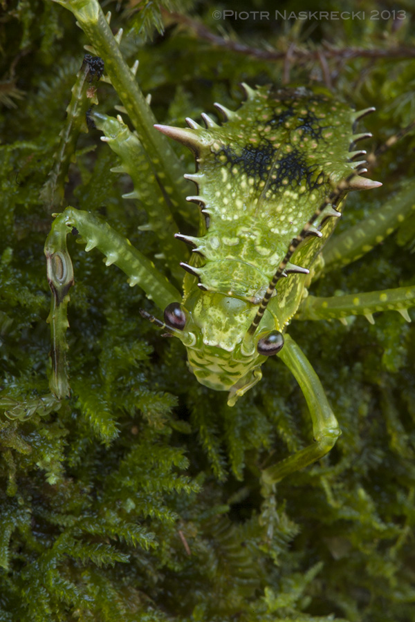 A nymph of Sasima versteegi is a perfect mimic of mossy vegetation of the humid, lowland rainforest on New Guinea.