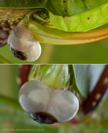What looks like a pair of testicles at the base of a female's ovipositor is the spermatophylax, a nuptial gift produced by the male during mating. It consists mostly of nutritious carbohydrates and proteins, and is subsequently consumed by the female. Its presence ensures that the male's sperm has enough time to enter the females genital opening, and effectively prevents her from mating with another partner, at least for some time. The nutrients in the spermatophylax also contribute to the fitness of his and her offspring.