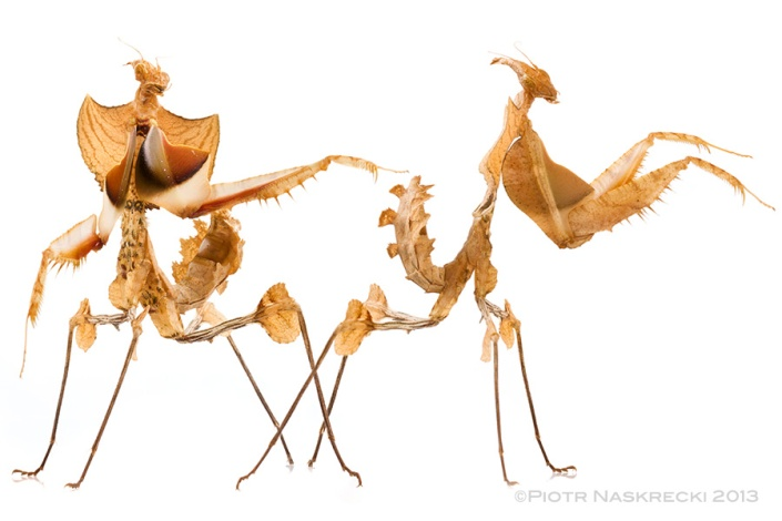 Nymphs of the Devil's mantis (Idolomantis diabolica) resemble dry, shriveled leaves, which allows them to blend among the vegetation, where they hunt fast flying insects. Interestingly, this species is not interested in slower insects and those that walk or crawl on the vegetation – the prey must be flying really fast to elicit this predator's response. (This photo shows a captive individual.)